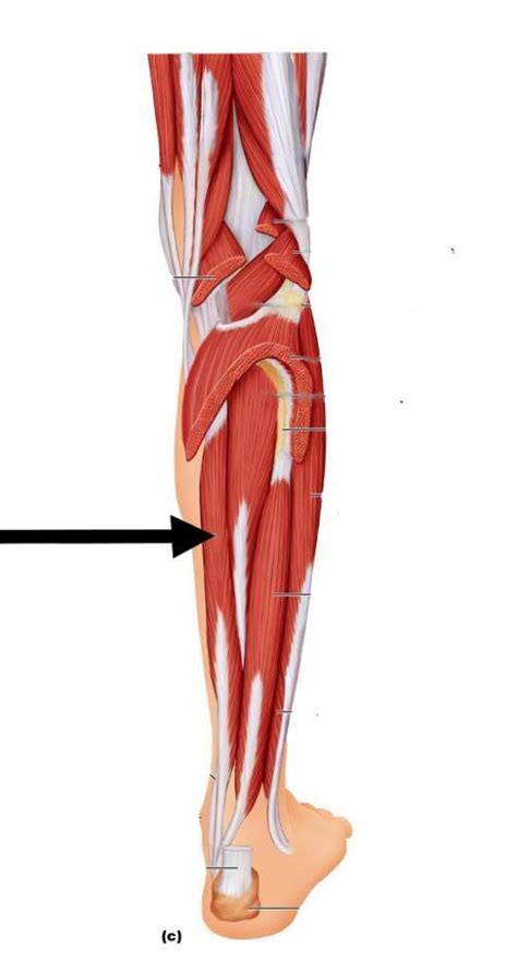 Muscles- location - Anatomy 25 with Tarpey at city college