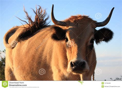 Lightbrown Cow Is Wagging Its Tail Stock Image - Image