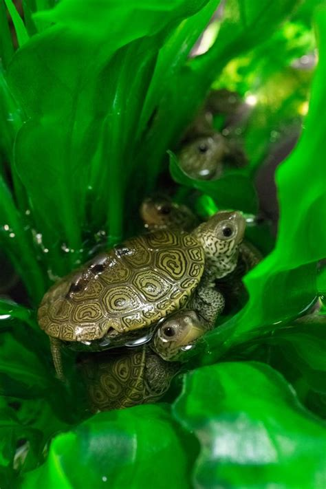 Terrapin Hatchlings Get Ready for School - ZooBorns