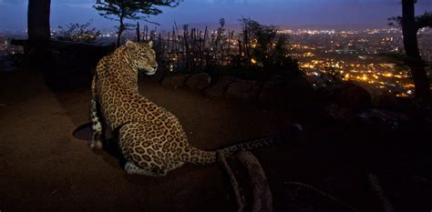 Leopards in a city park in India may help lower human